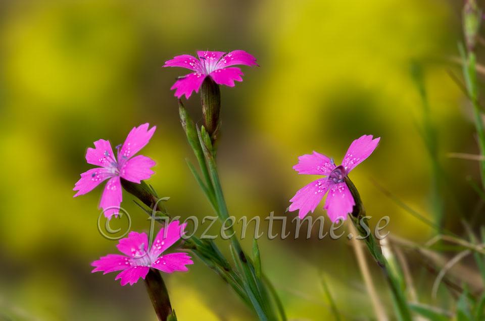 pink_flowers-Edit.jpg
