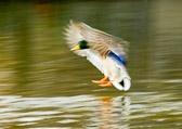 Mallard landing on river
